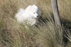 american eskimo dog small leerburg photo contest 2017