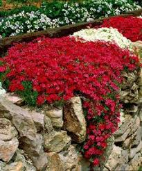 Rock Garden Plants Uk Plants For Rock Wall Landscapes Scarlet Gardens And