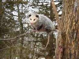 Possum In My Backyard Opossum Rockdoveblog