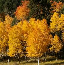 aspen tree symbolism sun signs