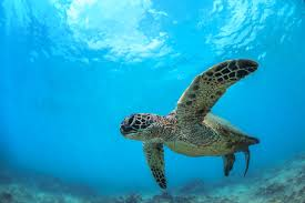scuba diving in hawaii resorts packages caradonna adventures