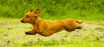 which breed of puppy looking at dachshunds the happy puppy site