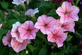 petunia flowers flower petunia three hundred and sixty six