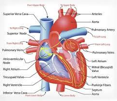 Anatomy Of Heart Valve Diagram Of The Human Heart Valves Periodic Tables