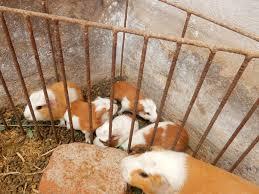 Cages For Guinea Pigs Photos Anyone Ever Seen An Ecuadorean Peruvian Guinea Pig