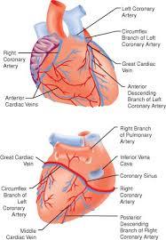 Heart Anatomy Arteries Cardiac Anatomy And Physiology Anesthesia Key