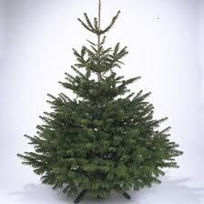 scotch pine christmas tree scotch pine christmas tree