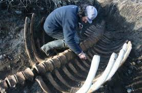 New Climate Zones For Russia by Extinct Steller U0027s Sea Cow Fossil Found In Commander Islands Russia