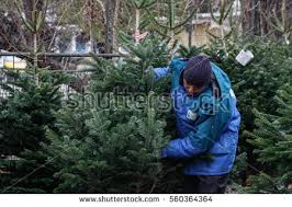 cutting down christmas tree stock images royalty free images