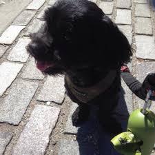 affenpinscher a donner manhattan pet service 39 photos u0026 23 reviews dog walkers 244