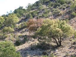 native plants albuquerque trees that please nursery chisos red oak u2013 a new mexico native