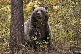 Eli francovich grizzly bear near silverwood inspired fear but