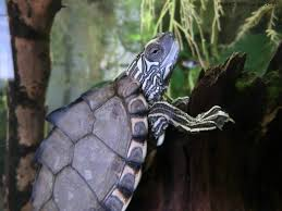 Texas Map Turtle Graptemys Gibbonsi Natural History Care And Photo