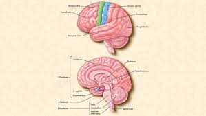 Anatomy Of The Brain And Functions Mapping The Brain Brainfacts Org