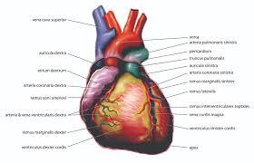 Human Anatomy And Physiology Pdf File File Anatomy Heart Latin Tiesworks Jpg Wikimedia Commons
