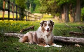 alaskan husky dog new desktop wallpaper full puffy dogs