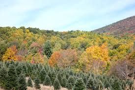 fall foliage report sweet sorghum living