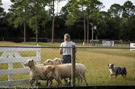 australian shepherd herding sheep herding