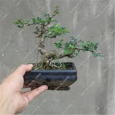 ash tree seeds mini bonsai seeds green tree seeds for diy home