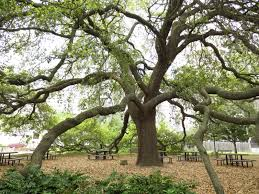 remarkable trees of the most beautiful tree in downtown houston