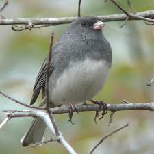 wild birds unlimited small gray bird with white belly