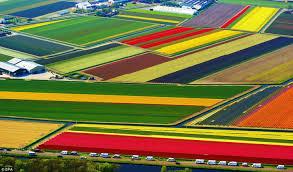 flowers tulip field tulips flowers flower fields nature wallpaper