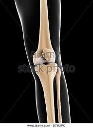 Knee Bony Anatomy Male Knee Anatomy Bones Stock Photos U0026 Male Knee Anatomy Bones