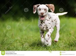 dalmatian puppy running grass stock photos images u0026 pictures