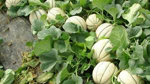 Growing Melons On A Trellis How To Growing Cantaloupe And Honeydew Melons In Backyard Garden