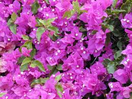native plants of brazil bougainvillea spectabilis wikipedia
