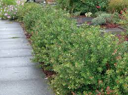 native plant society of oregon pacific horticulture society arctostaphylos for pacific