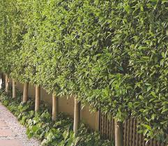 ficus hedge pleached a few years and our driveway will look