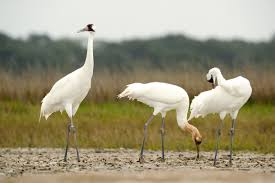 till death do them part 8 birds that mate for life audubon