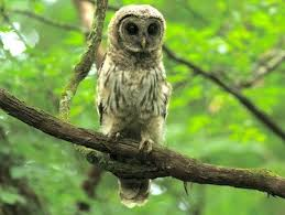 What Does A Barn Owl Look Like Barred Owl Identification All About Birds Cornell Lab Of