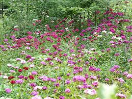 sweet william flowers sweet william flowers uncultivated beauty realneo for all