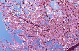 cherry blossom pics beautiful cherry blossom japan youtube
