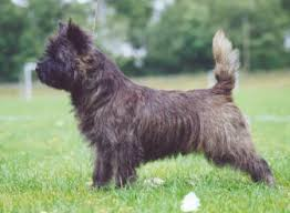 brindle cairn haircut grooming your cairn cairn terrier pinterest cairn terriers