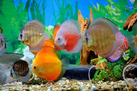 pesci alimentazione alimentazione per i pesci d acquario purina it