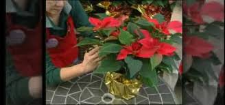how to dress up a poinsettia plant with gold foil for christmas