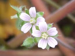 5 pretty weeds that grow in raleigh north carolina lawnstarter