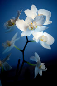 blue orchids for sale blue orchid plants for sale plants nature flowers