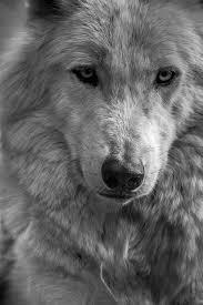 wolf photography arctic wolf photo print nature wildlife