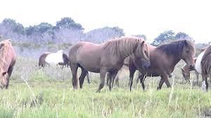 mustangs mating horses mating