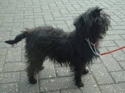 affenpinscher long hair browse dog breeds by photos greatdogsite com