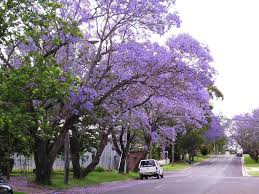 tree with purple flowers flowering trees the beautiful flowering jacaranda trees in