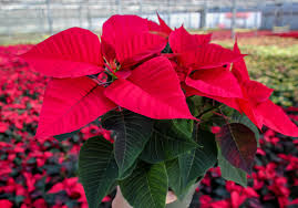 poinsettias u2013 we love this time of year van wingerden home