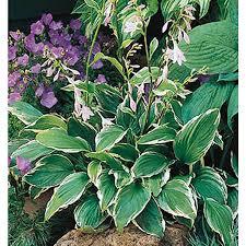 shop 2 5 quart plantain lily lb029 at lowes com