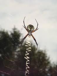argiope spider free image peakpx