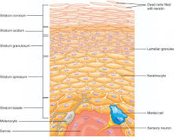 layers of the skin anatomy and physiology i