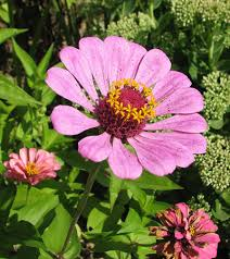 Zinnias Flowers Planting Zinnia Flowers Zinnia History Growing Tips For Zinnias